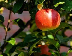 какие витамины содержит яблоко