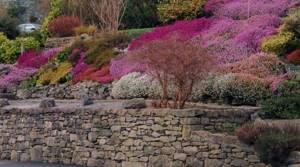 вереск обыкновенный цветы белые