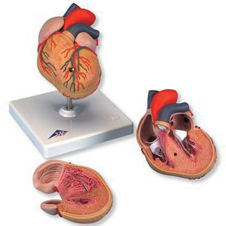 увеличение левого желудочка сердца что это такое