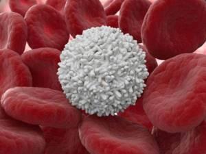 где образуются и сколько живут лейкоциты